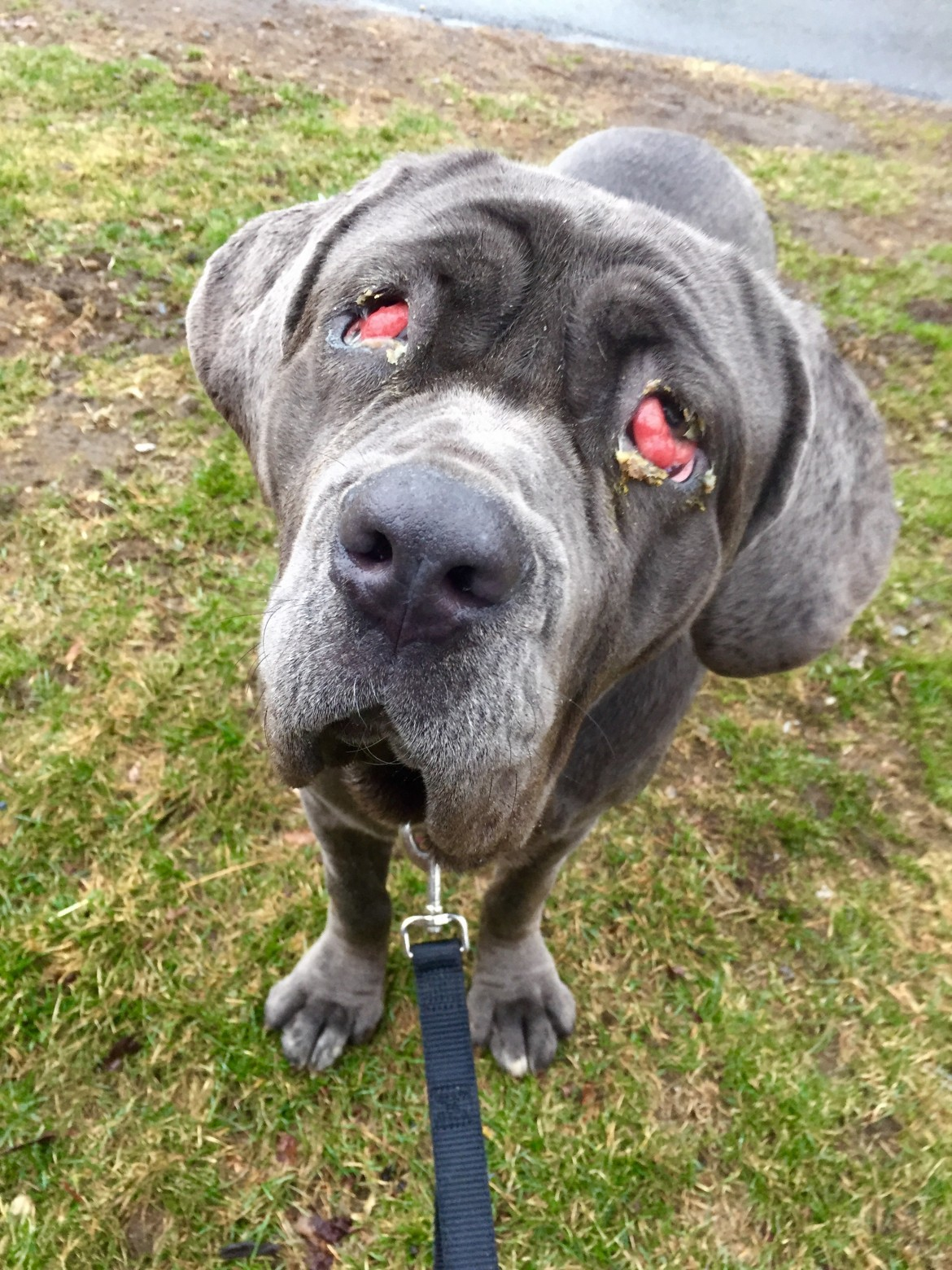 Zoe had an infection of the third eyelid, known as'cherry eye.'