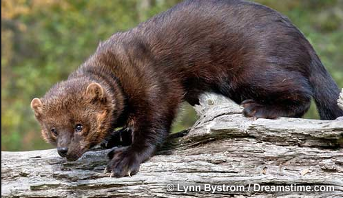 Limits on fisher cat hunting has been reduced this year.