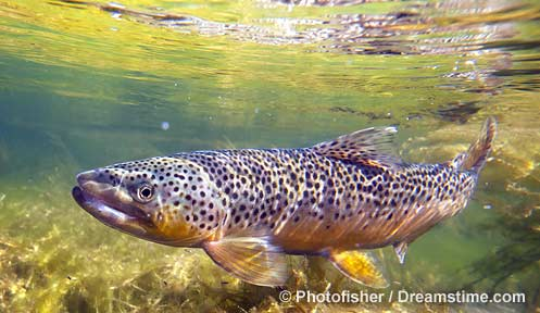 Fisheries brown trt 2 manchester ink link for Nh fishing license