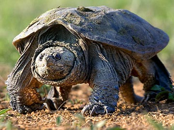 Why did the turtle cross the road? Because it's nesting